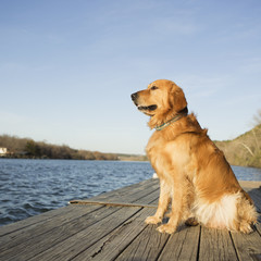 A golden retriever dog sitting on a jetty by water.