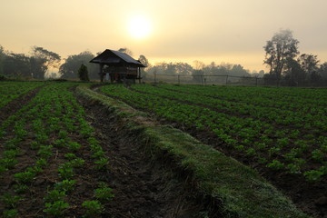 Groundnut farm on morning in Thailand