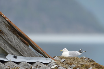 Common Gull nesting on the roof of a shed.