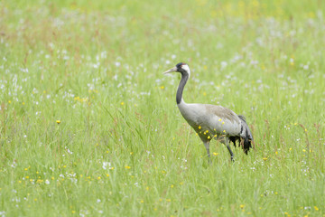Common crane walking and foraging in grass.