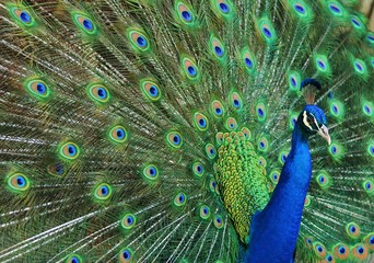 Peacock Tailfeathers