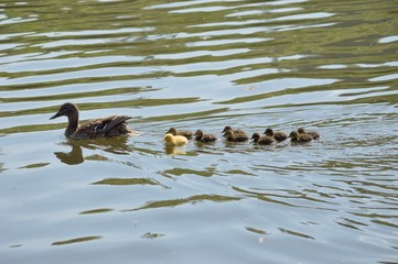 One duckling is different 04