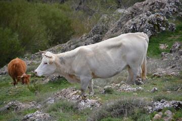Vacas comiendo hierba en la montaña