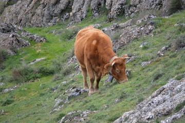 Vaca marron pastando en la montaña