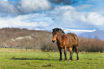 Croatian horse breed, Cold-Blooded