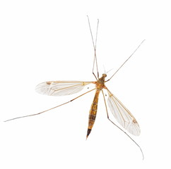 mosquito isolated on white (with clipping path)