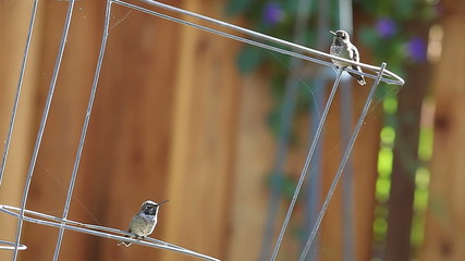 two hummingbirds interact with each other
