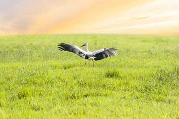 White stork walking on green meadow near sunset