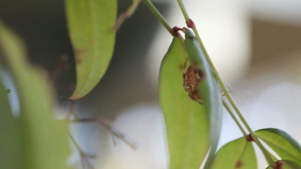 garden spider becomes agitated when leaf is tapped