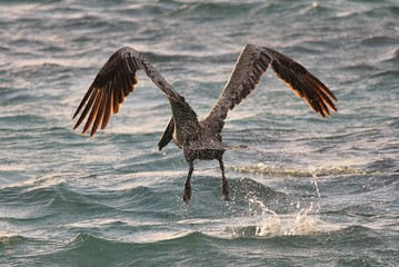 Pelican taking off from sea