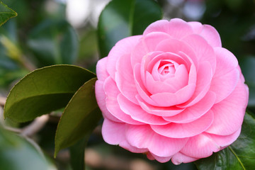 Japanese camellia - 椿