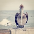 Pelican and Surfing