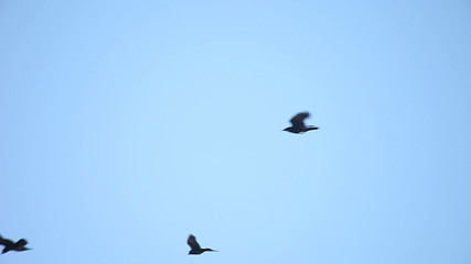 crows flying overhead against a blue sky