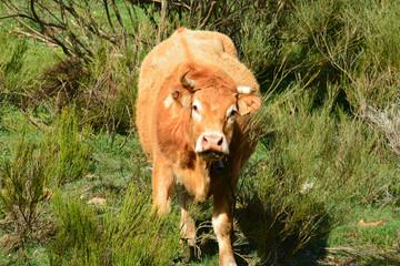 vaca pastando en la montaña de los picos de europa , asturias