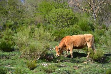 vaca pastando en la montaña de los picos de europa, asturias