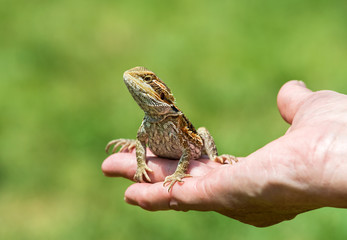 Hand holding a Bearded dragon lizard