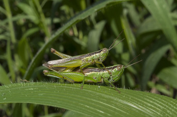 Grasshopper mating on grass leaf