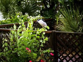 Black crowned night heron (Nycticorax nycticorax)
