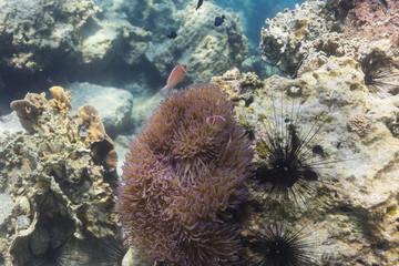 Skunk clownfish (Amphipirion perideraion)