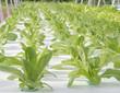 Hydroponics vegetables.