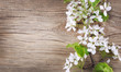 Bird Cherry Blossom on old wooden background