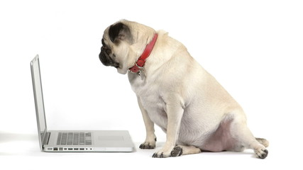 Dog looking at a laptop computer