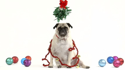 Christmas pug with mistletoe