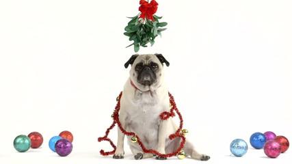 Christmas pug with mistletoe
