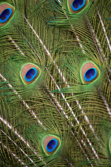 Peacock Tail Detail