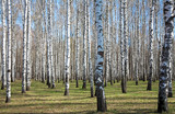Sunny birch forest in first spring greens