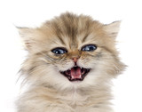 persian kitten - 64430427