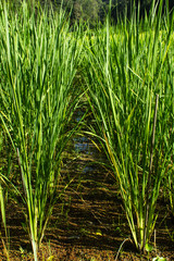Rice is in field