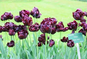 massifs de tulipes grenat,au jardin des plantes à paris