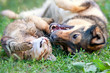 Dog and cat playing together outdoor.Lying on the back together. - 64432683