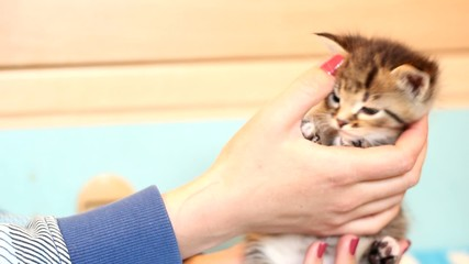tabby kitten in female hands