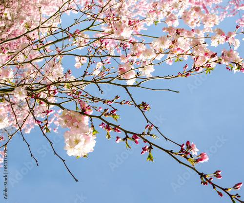 blutentraum-na-wiosne-japonskie-kwiaty-wisni