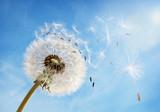 Dandelion clock dispersing seed - 64437692