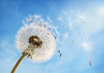 Dandelion clock dispersing seed © Brian Jackson