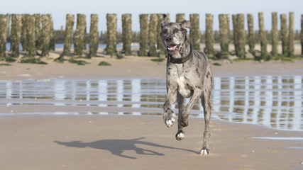 Deutsche Dogge, outdoor, Strand