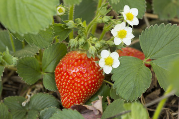 Bio Erdbeere am Strauch mit Erdbeerblüte