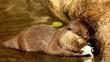 Otter in chiangmai zoo, chiangmai Thailand