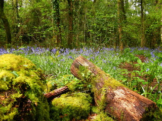 Logs and Bluebells