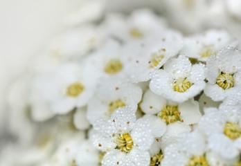 gouttelettes sur fleurs blanche