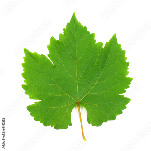 Keuken foto achterwand Wijngaard Fresh Green Grape Leaf isolated on white Background