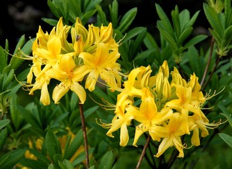rhododendron with yellow flowers