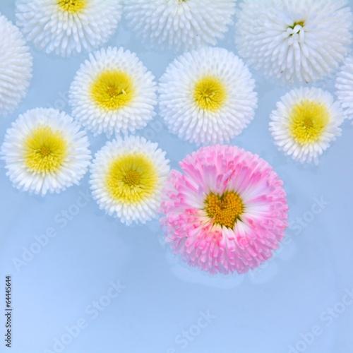 Gänseblümchen im Wasser