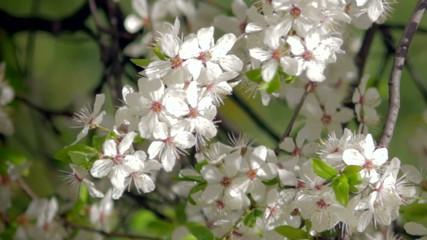 Spring flowering of plants