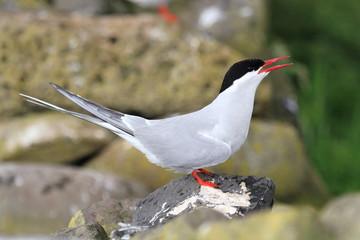 sterna beccapesci uccello da proteggetre isole farne scozia