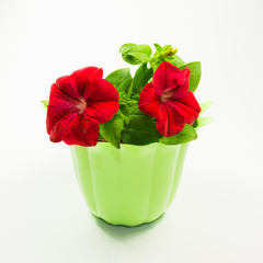 rote Petunie im Blumentopf