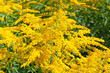 canvas print picture - Goldruten - Solidago